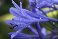 Agapanthus tips & tricks