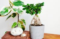 Bring Japan into your home with Ficus Bonsai