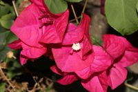 Garden plant of the moment: Bougainvillea