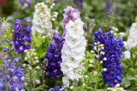 Garden plants of the moment: delphiniums, lobelia and snaps