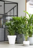 Houseplant of the month: Kentia Palm