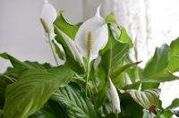 Houseplant of the month: Peace Lily