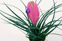 Houseplant of the month: Tillandsia