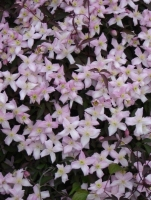 Plant of the week - Clematis Montana
