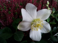 January's plant of the month is the hellebore