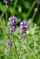 April's plant of the month is the lavender