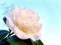 February's plant of the month is the camellia
