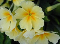 January's plant of the month is the primula
