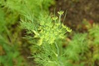 Plant of the Week: Dill