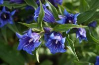 Plant of the Week: Gentian