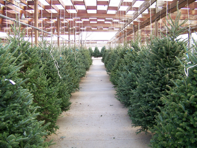 Christmas Tree Watering Tips