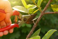 Tips on pruning shrubs, trees and perennials